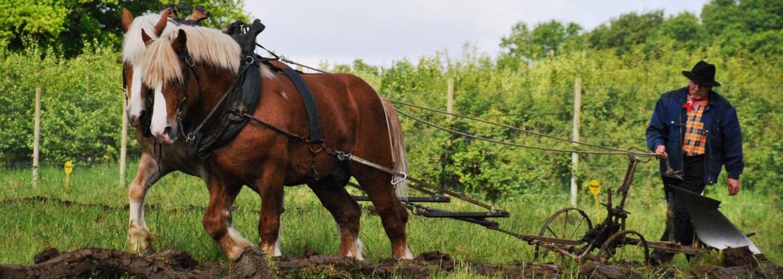 Les Ardennais Belges | Le cheval de trait Ardennais mis à l'attelage