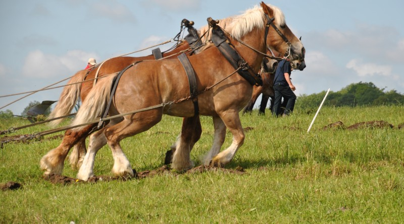 Chevaux de traits Ardennais - Labour